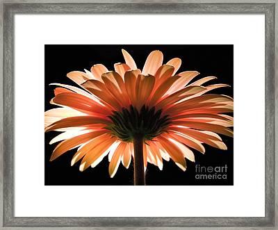 Tangerine Gerber Daisy Framed Print