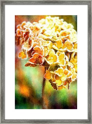 Tangerine Hydrangeas Framed Print by Bonnie Bruno