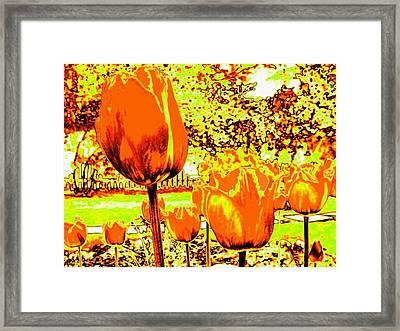 Tangerine Tulips Framed Print by Will Borden