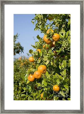 Tangerines On A Tree Branch Framed Print