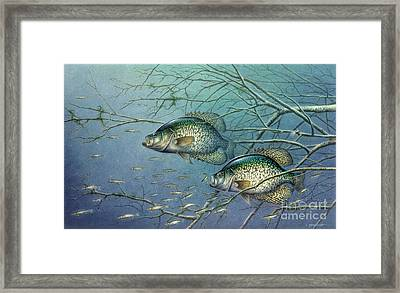 Tangled Cover Crappie II Framed Print by Jon Q Wright