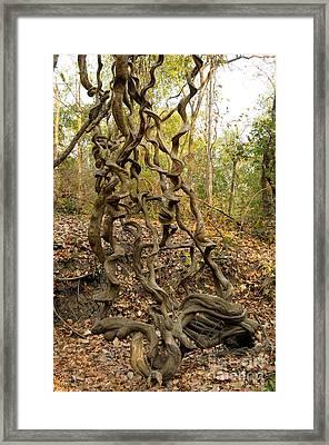 Tangled Lianas Framed Print