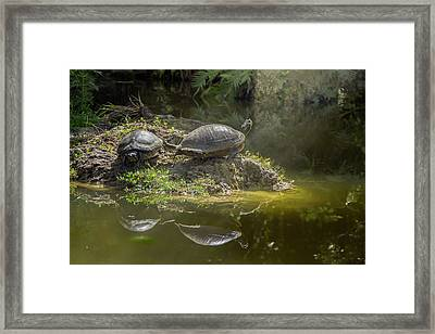 Tanning Turtles Framed Print