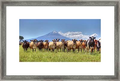 Taranaki Cows Framed Print