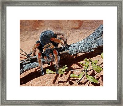 Tarantula - Arachnid Framed Print