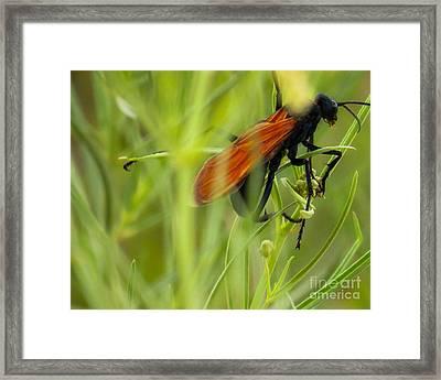 Tarantula Hawk 1 Framed Print