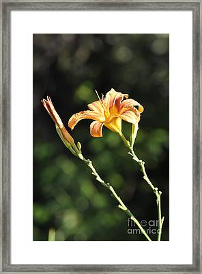 Tasmania Day Lily Framed Print by Penny Neimiller