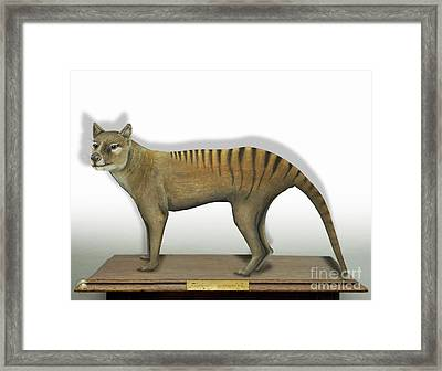 Tasmanian Tiger-thylacinus Cynocephalus-tasmanian Wolf-lobo De Tasmania-tasmanian Loup-beutelwolf    Framed Print