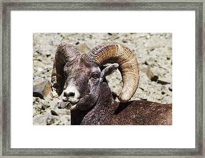 Taunting Bighorn Framed Print by Mark Kiver