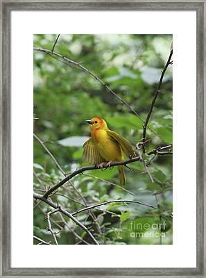 Taveta Golden Weaver #3 Framed Print