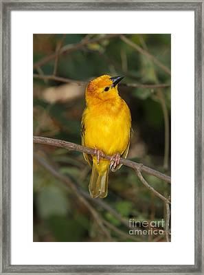 Taveta Golden Weaver Framed Print