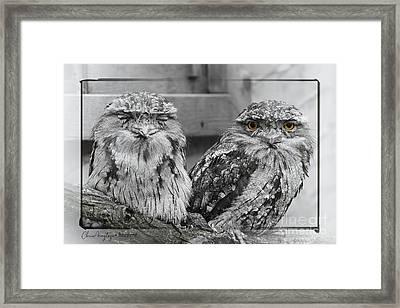 Tawney Frogmouths Framed Print
