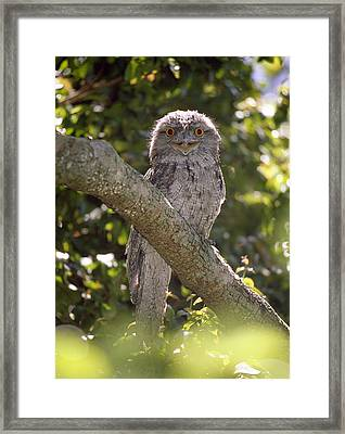 Tawny Frogmouth Framed Print by Barry Culling