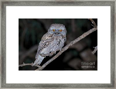 Tawny Frogmouth Framed Print by B.G. Thomson
