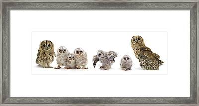 Tawny Owl Family Framed Print