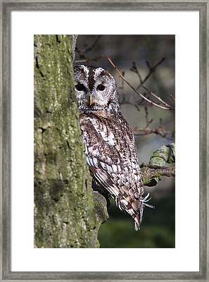Tawny Owl In A Woodland Framed Print