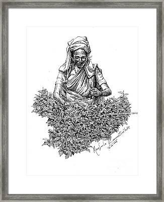 Tea Picker Framed Print by Manjula Karunathilaka