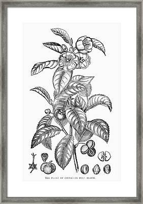 Tea Plant, 19th Century Framed Print by Granger