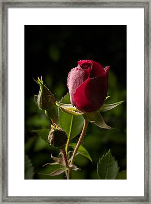 Tea Rose Bud Framed Print