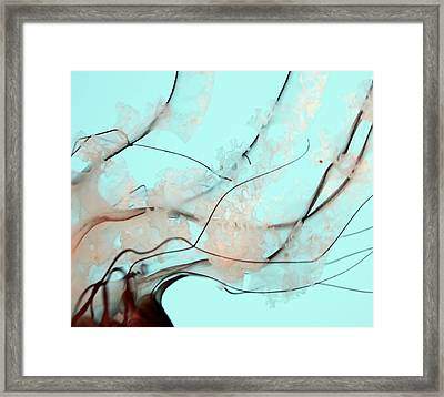 Teal Blue Pacific Sea Nettle Framed Print by Marianna Mills