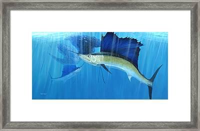 Teamwork Sailfish Framed Print by Kevin Brant