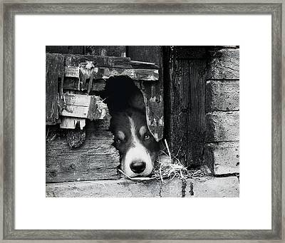 Working Border Collie Dog. Framed Print by Maggie McCall