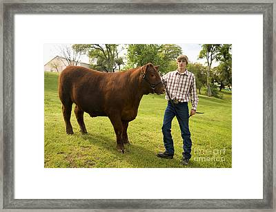 Teen And Red Angus Steer Framed Print by Inga Spence