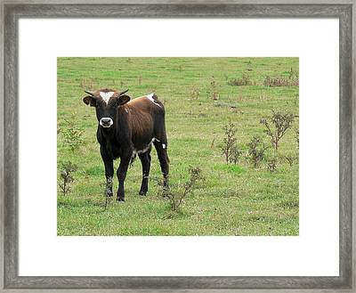 Teen Cow Framed Print