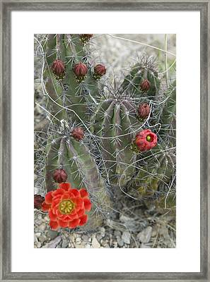 Terlingua Desert Blooms Framed Print by Clyde Replogle