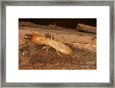 Termite Framed Print by Ted Kinsman