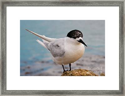 Framed Print featuring the photograph Tern 1 by Werner Padarin