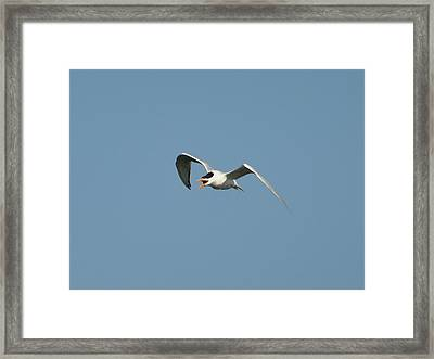Tern Flight 02 Framed Print by Al Powell Photography USA