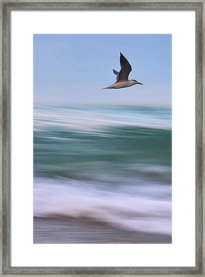 Tern Flight Vert Framed Print by Laura Fasulo