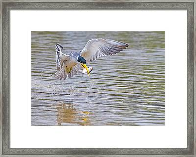 Framed Print featuring the photograph Tern by Wade Aiken