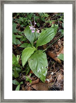 Terrestrial Orchid Framed Print