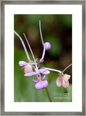 Terrestrial Orchid In Flower Framed Print