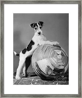 Terrier In Playful Pose, C.1940s Framed Print by H. Armstrong Roberts/ClassicStock