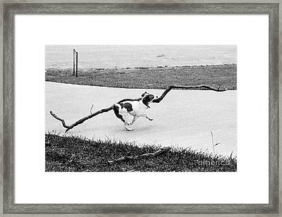 Terrier Running With A Very Big Stick Framed Print