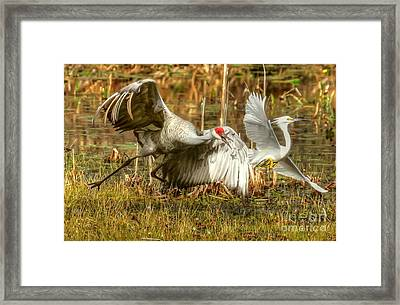 Territorial Dispute Framed Print by Myrna Bradshaw