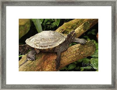 Tess The Map Turtle #3 Framed Print