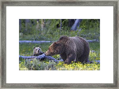 Teton Grizzly Mama And Cub Framed Print