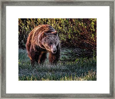 Teton Grizzly Framed Print