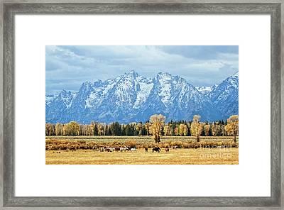 Teton Horses Framed Print by Carolyn Fox