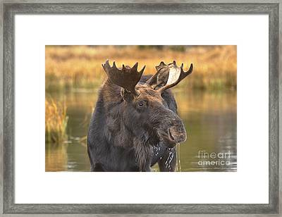 Moose Smile Framed Print by Adam Jewell