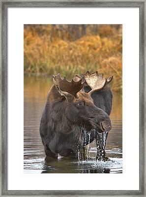 Teton Moose Lunch Drool Framed Print by Adam Jewell
