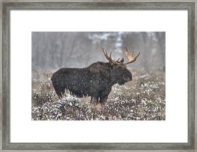 Framed Print featuring the photograph Teton Snowy Moose by Adam Jewell