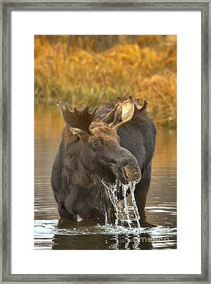 Teton Watery Lunch Framed Print by Adam Jewell