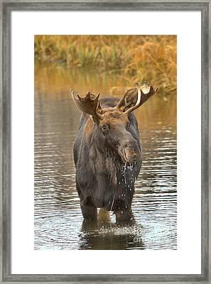 Teton Wetlands Moose Framed Print by Adam Jewell