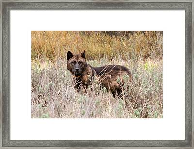 Teton Wolf Framed Print