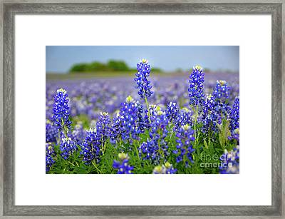 Texas Blue - Texas Bluebonnet Wildflowers Landscape Flowers  Framed Print by Jon Holiday
